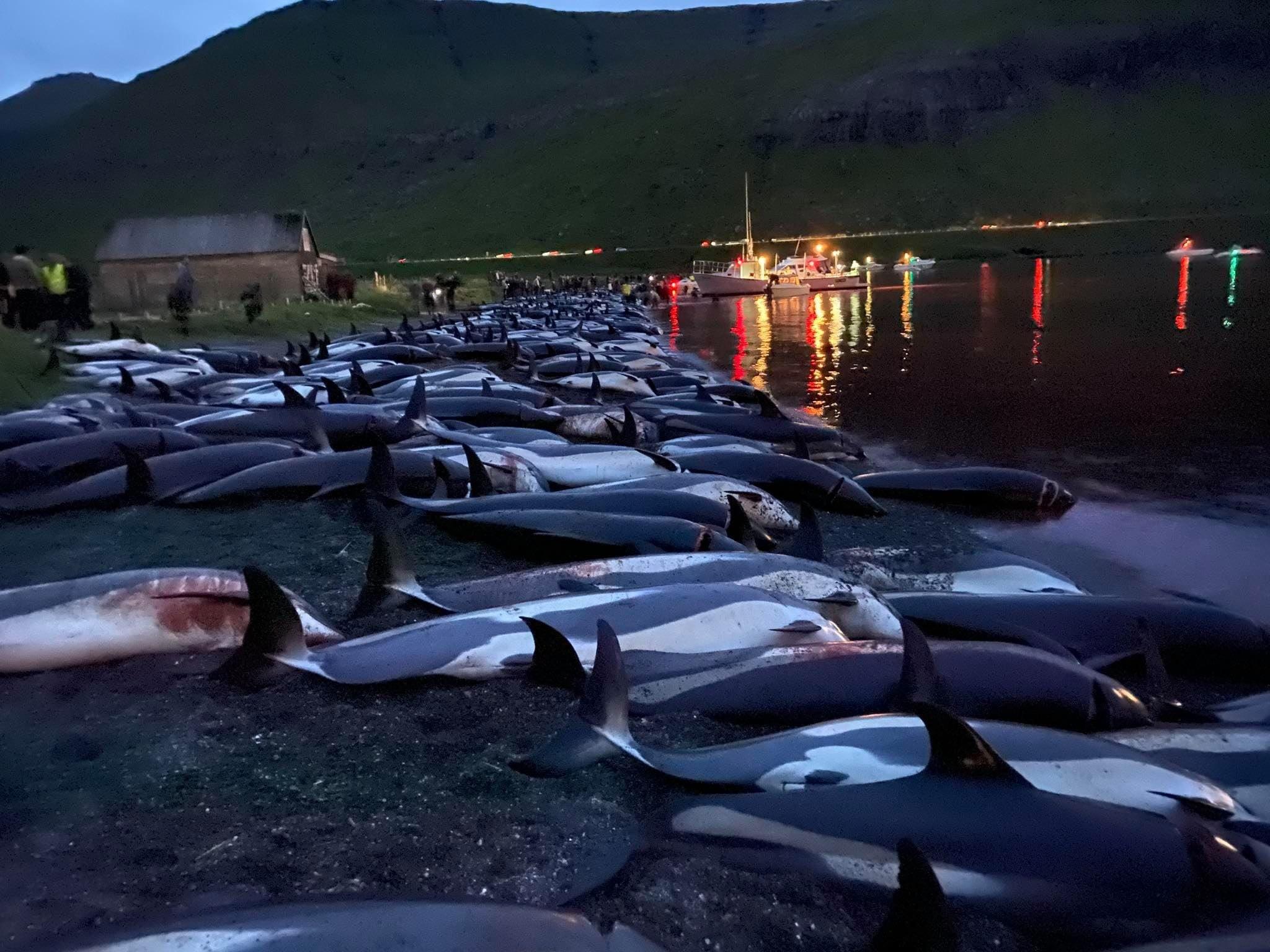 1428 мертвых дельфинов: на Фарерах прошла крупнейшая охота за всю историю островов