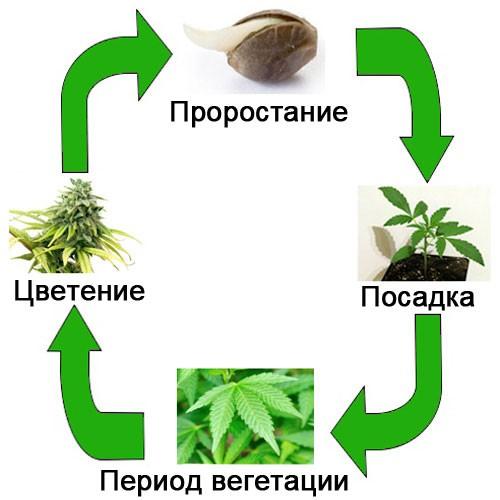Рост дикой конопли легализация марихуаны в эстонии