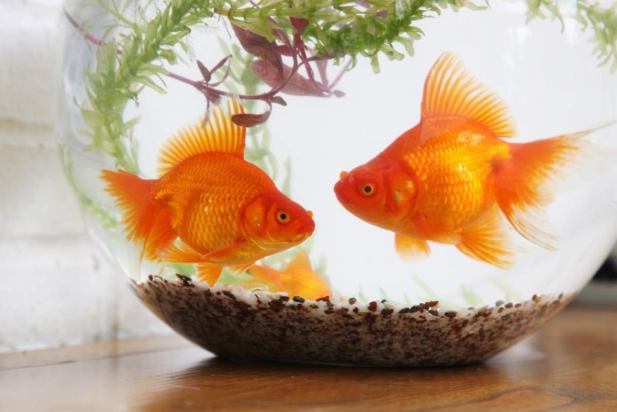 Картинки золотых рыбок рыбок красивые, бракосочетания барт